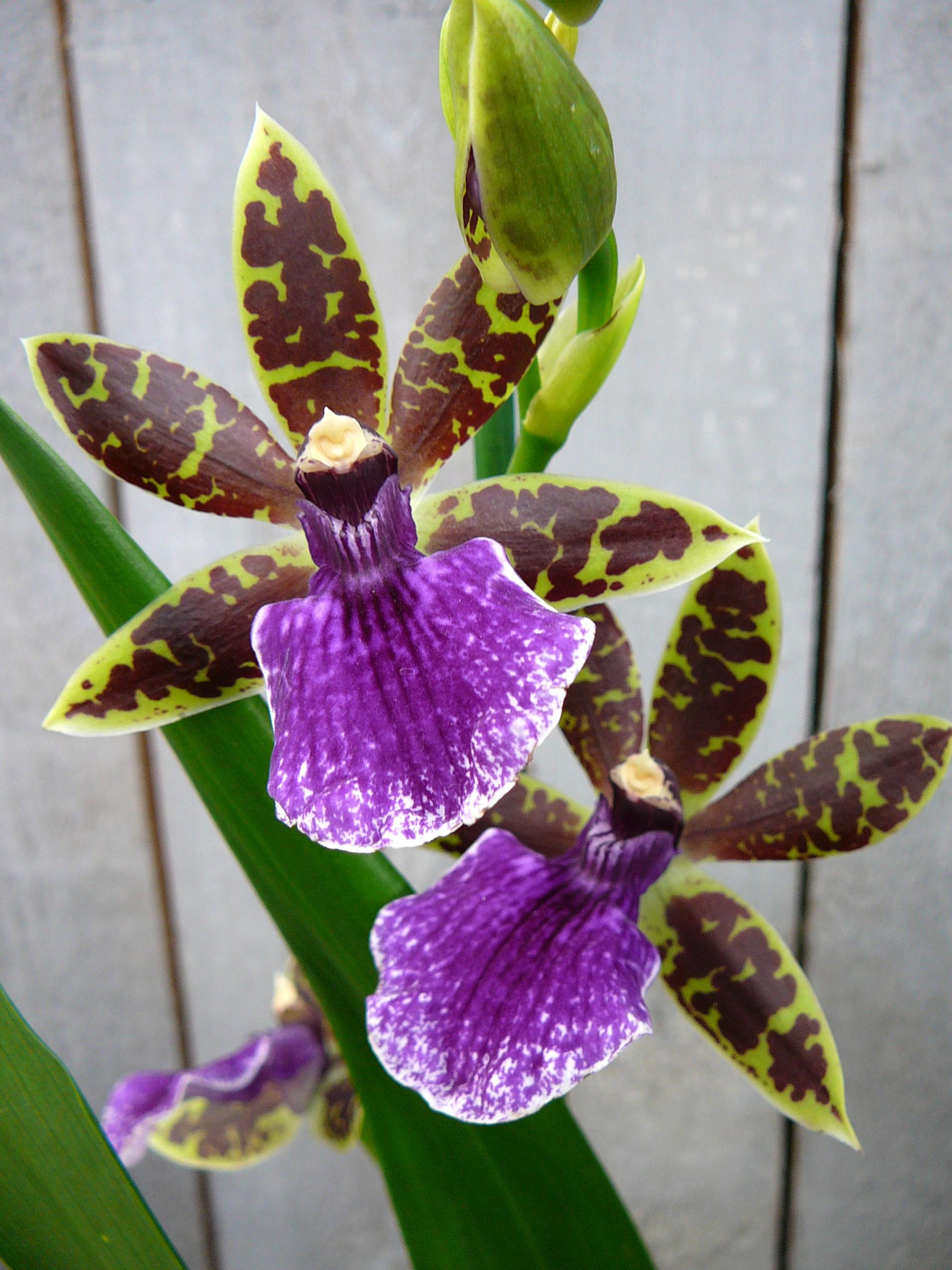 orchidee Zygopetalum snoeien