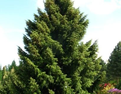 Picea omorika - Servische spar