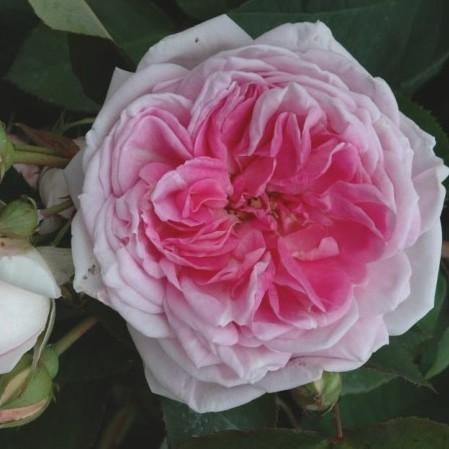 Rosa 'Blairii no2' rambler of liaanroos - rambler of liaanroos