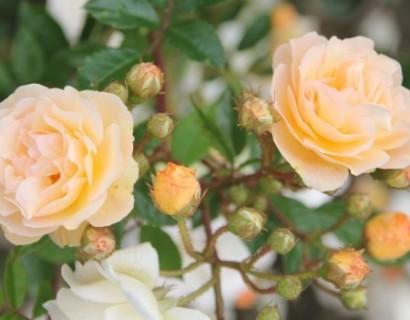 Rosa 'Ghislainde de Féligonde' rambler of liaanroos - rambler of liaanroos