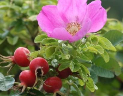 Rosa rugosa - Bottelroos of rimpelroos