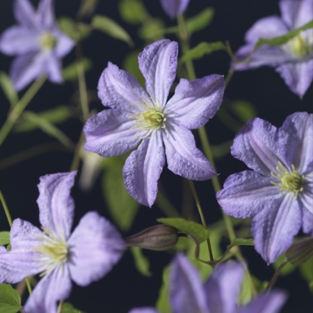 Clematis 'Prince Charles' - Bosrank