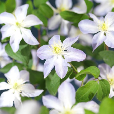 Clematis 'SoMany Blue Flowers' - Bosrank