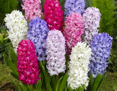 Hyacinth pot met 3 bollen