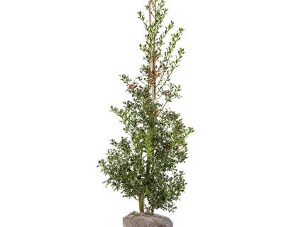 Ilex aquifolium 'Alaska' 175/200 cm