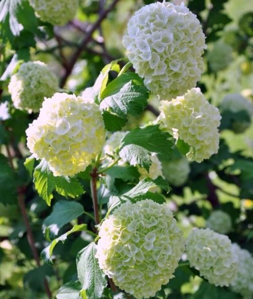 Viburnum opulus - Gelderse roos of sneeuwbal
