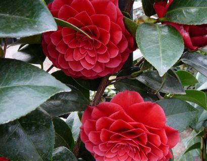 Camellia japonica 'Black Lace' - Camellia