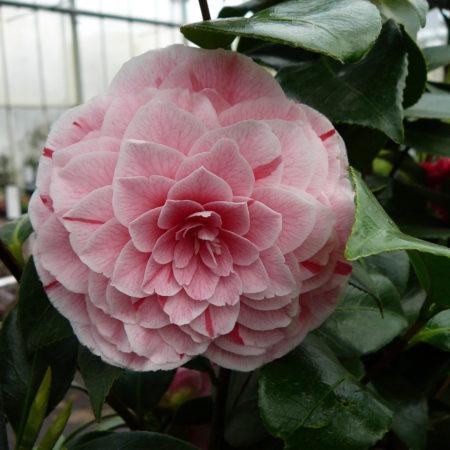 Camellia japonica 'Bonomiana' - Camellia