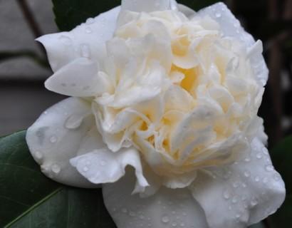 Camellia japonica 'Snowball' - Camellia