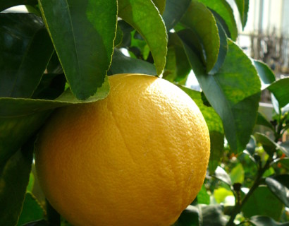 Citrus paradisi (grapefruit) - Grapefruit
