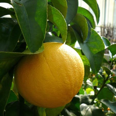 Citrus paradisi (grapefruit) - Grapefruit