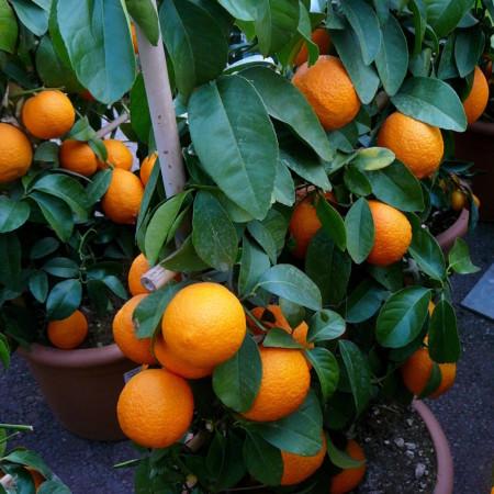 Citrus volkameriana - Rode citroen