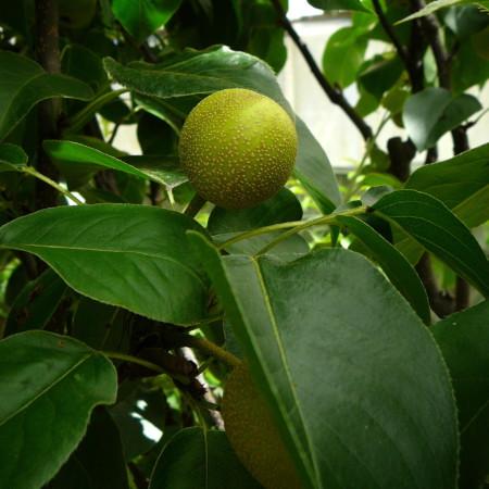 Pyrus pyrifolia 'Hosui' - Nashi-peer, Japanse appelpeer, meloenpeer