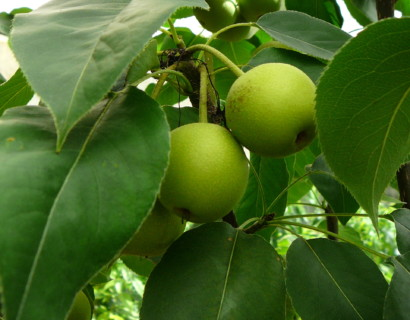 Pyrus pyrifolia 'Shinseiki' - Nashi-peer, Japanse appelpeer, meloenpeer