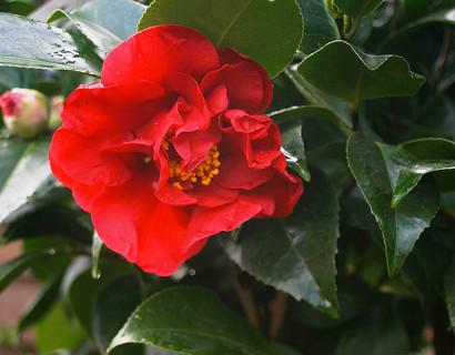 Camellia japonica 'Dr. Burnside' - Camellia