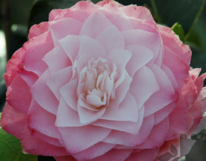Camellia japonica 'Nuccio's Pearl' - Camellia
