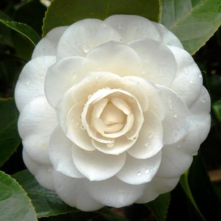 Camellia japonica 'Perfection White' - Camellia