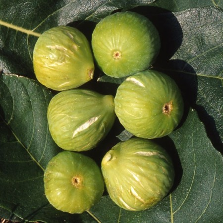 Ficus carica 'Gentile' of 'Brogiotto Bianco' - Vijg
