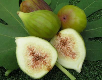 Ficus carica 'Osborn Prolific' - Vijg