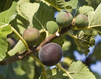 Ficus carica 'Parisienne'