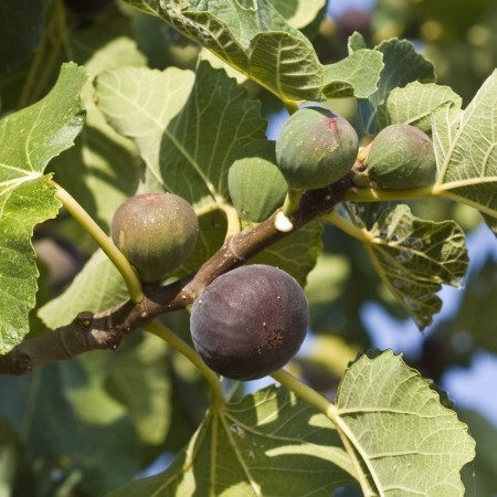 Ficus carica 'Parisienne' - Vijg