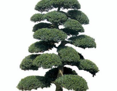 Ilex crenata 'Kinme' pot bonsai