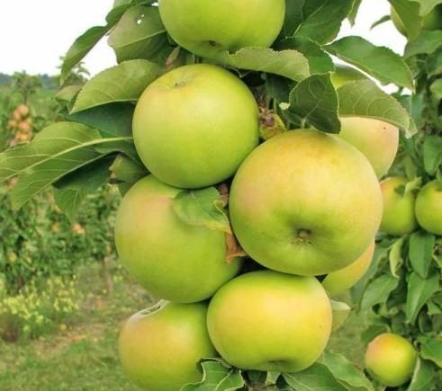Malus domestica 'Greencats' Ballerina zuilboom - Zuilvormige appelboom, Ballerina appelboom