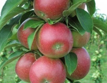Malus domestica 'Redcats' Ballerina zuilboom - Zuilvormige appelboom, Ballerina appelboom