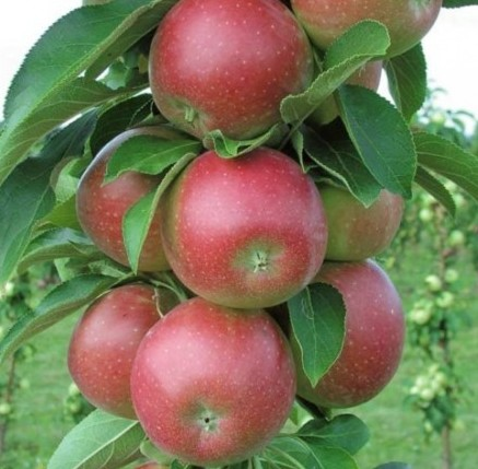 Appelboom planten met pitjes