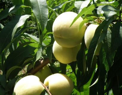 Prunus persica 'Ice Peach'