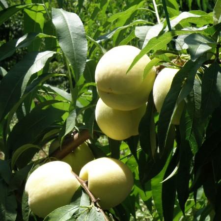 Prunus persica 'Ice Peach' - Witte dwergperzik