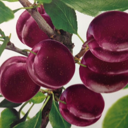 Prunus 'Pluot' Dapple Dandy - Pruim-abrikoos