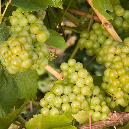 Vitis vinifera 'Chardonnay' - geënte witte wijndruif