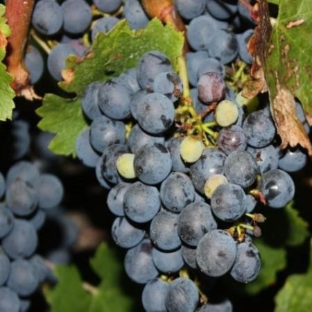 Vitis vinifera 'Cabernet Sauvignon' - geënte blauwe wijndruif