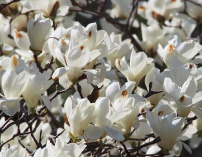 Magnolia 'Yulan' - Beverboom