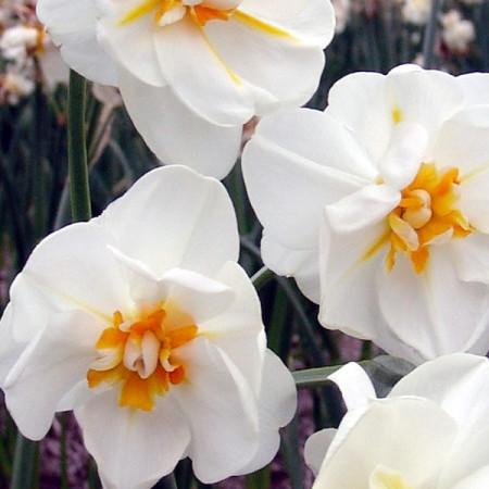 Narcis 'Bridel Crown' pot 9 cm
