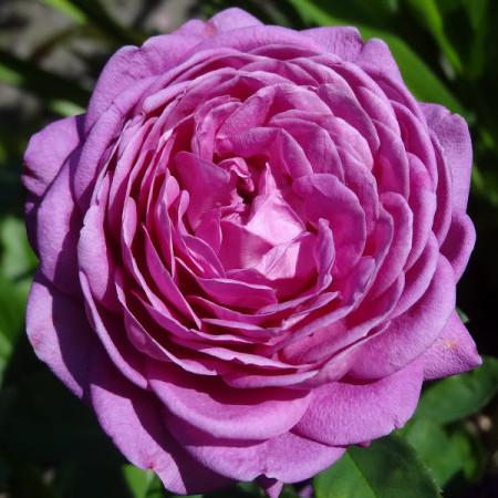 Rosa 'Heidi Klum Rose' - Roos