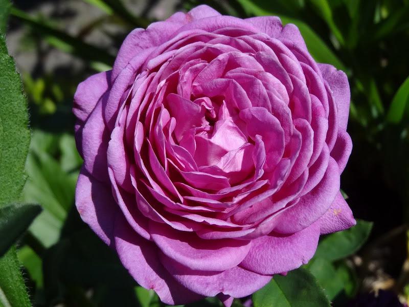 rosa 39 heidi klum rose 39 roos kopen mar chal. Black Bedroom Furniture Sets. Home Design Ideas