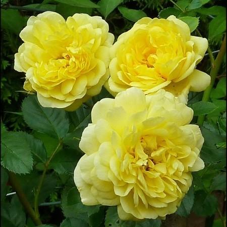 Rosa 'Yellow Meilove' stam - stamroos