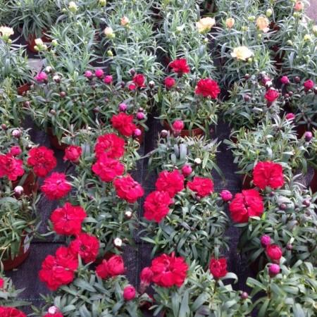 Dianthus pot
