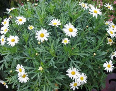 Bloeiende margriet - Sanvitalia
