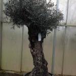 Hoe plant ik mijn olijfboom?