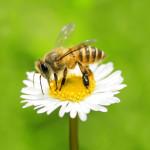 Hoe maak ik van mijn tuin een restaurant voor bijen?