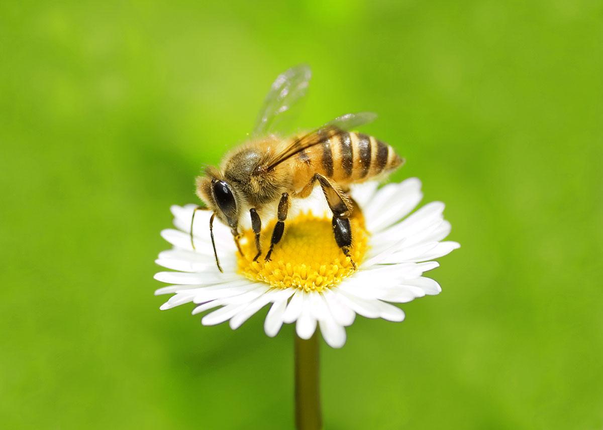 Hoe maak ik van mijn tuin een restaurant voor bijen