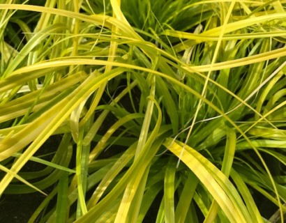 Carex oshimensis 'Everillo' - Zegge
