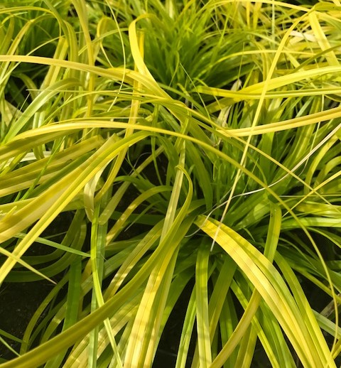 Carex oshimensis 'Everillo' pot 2 liter