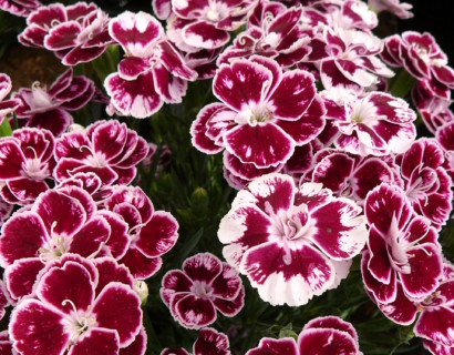 Dianthus 'Charmy' (grote pot) - Anjer