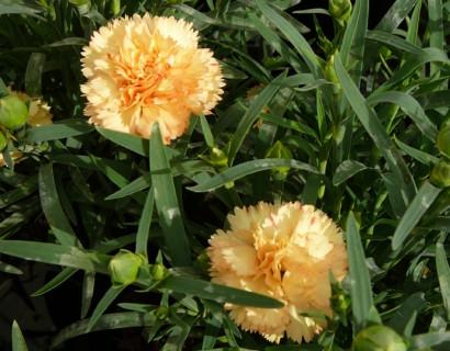 Dianthus 'Bling Bling' (grote pot) - Anjer