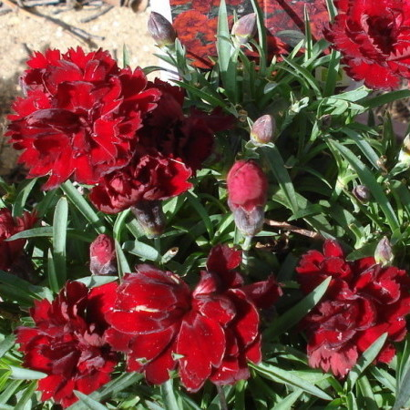 Dianthus 'Chocolate' (grote pot) - Anjer