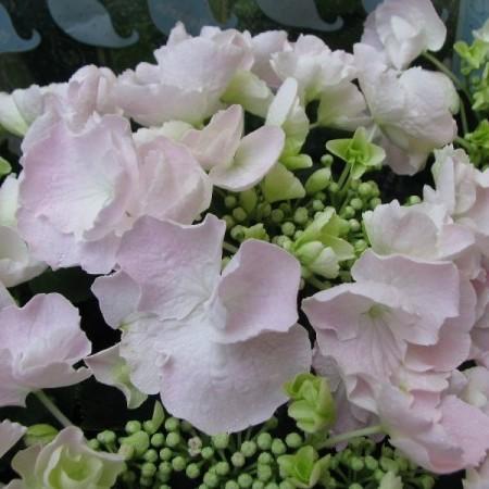 Hydrangea macrophylla Hovaria 'Hobella' - toverbal-hortensia